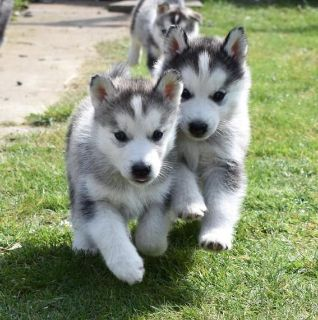 Husky Puppies Available for Re
