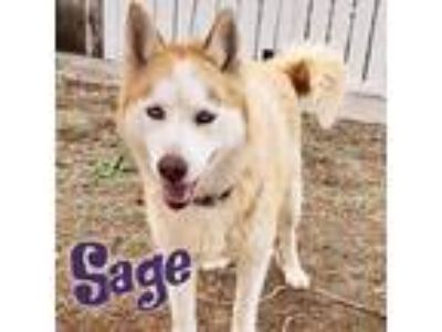 Adopt Sage a Tan/Yellow/Fawn - with White Siberian Husky / Mixed dog in Windsor