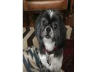 Adopt Kaydee a Shih Tzu, Mixed Breed