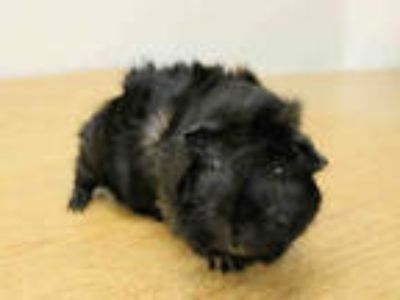 Adopt PUDDING a Black Guinea Pig / Mixed small animal in San Francisco
