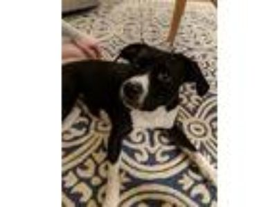 Adopt Ellie a Black - with White Boxer / Mixed dog in Atlanta, GA (25306545)