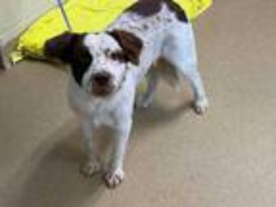 Adopt Nellie a White Pointer / Mixed dog in Lewisville, TX (25901493)