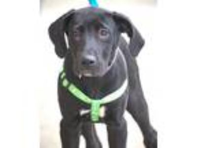 Adopt Iris a Black - with White Labrador Retriever / Mixed dog in Hillside