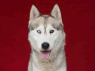 Adopt NIKKO a Tan/Yellow/Fawn - with White Husky / Mixed dog in Downey