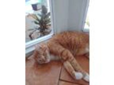 Adopt Cheddar a Orange or Red Tabby Domestic Mediumhair cat in Melbourne