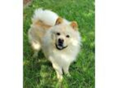 Adopt Mack a White - with Tan, Yellow or Fawn Chow Chow / Mixed dog in Houston