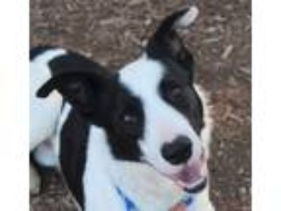 Adopt Eli a Black - with White Border Collie / Mixed dog in Red Bluff