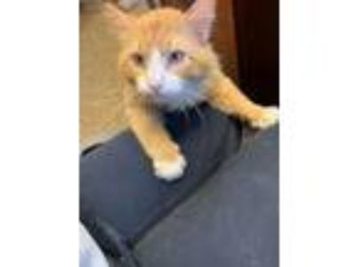 Adopt Simon a Orange or Red (Mostly) Domestic Shorthair / Mixed (short coat) cat
