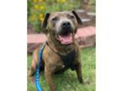 Adopt Polo a Gray/Blue/Silver/Salt & Pepper American Pit Bull Terrier dog in