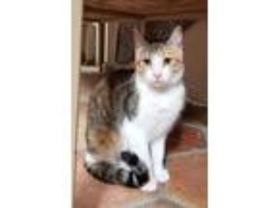 Adopt QUEEN a Calico or Dilute Calico Domestic Shorthair / Mixed (short coat)