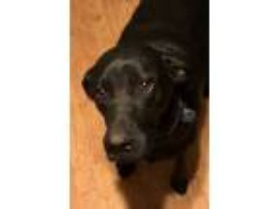 Adopt Pepper (lab) a Labrador Retriever