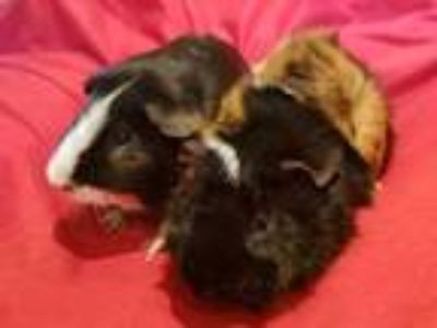 Adopt Jake and Elwood a Guinea Pig, Abyssinian