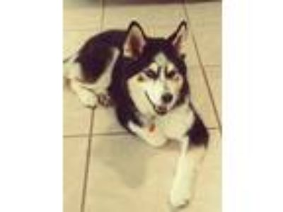 Adopt Sidni a Black - with White Husky dog in Pensacola, FL (25263495)