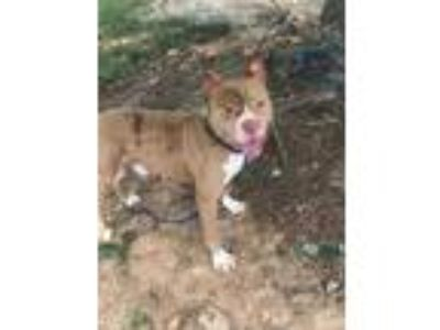 Adopt Toshiba a Tan/Yellow/Fawn American Pit Bull Terrier / Mixed dog in