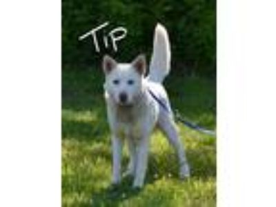 Adopt Tip a White Shepherd (Unknown Type) / Husky / Mixed dog in Lebanon