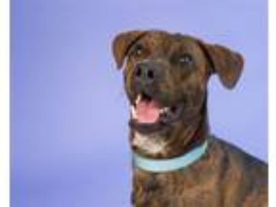 Adopt Feddy a Boxer / American Pit Bull Terrier / Mixed dog in Pittsburgh