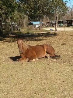 Walking Horse for sale