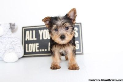 ytrf Yorkshire terrier pups for sale.