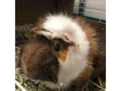 Adopt Oliver a Brown or Chocolate Guinea Pig / Mixed small animal in Hilliard
