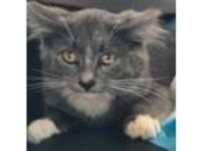 Adopt Tor a Gray or Blue (Mostly) Domestic Mediumhair (medium coat) cat in