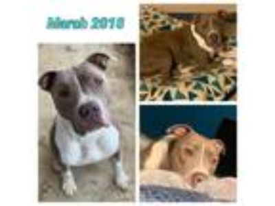 Adopt Campbell a Pit Bull Terrier