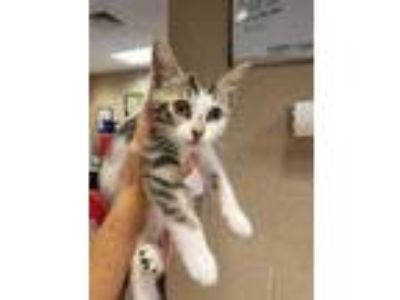 Adopt Mill a White Domestic Shorthair / Domestic Shorthair / Mixed cat in