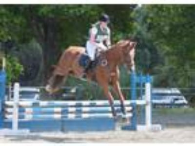 Brooke Athletic 11 year old Irish mare for sale