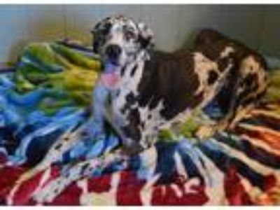 Adopt Tessa a White - with Black Great Dane / Mixed dog in Bethel, OH (23807235)