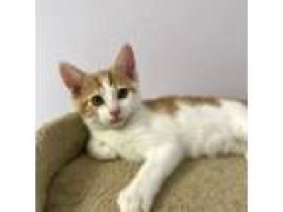 Adopt Sparkler a Orange or Red Domestic Shorthair (short coat) cat in Lathrop