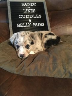 Australian Shepherd PUPPY FOR SALE ADN-90260 - Aussie Pups For Sale
