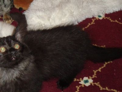 beautiful long hair kittens healthy trained and sweet.
