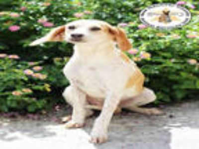 Adopt a Tan/Yellow/Fawn - with White Treeing Walker Coonhound / Beagle / Mixed