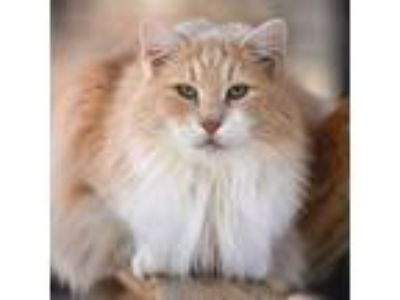 Adopt Furgus a Domestic Medium Hair