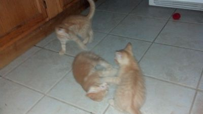 orange tiger kittens free to good home