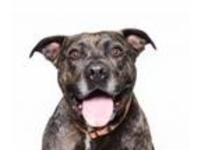 Adopt Chris a Brindle Pit Bull Terrier / Mixed dog in Los Angeles, CA (25570271)
