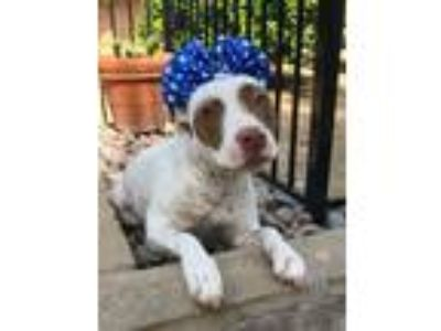 Adopt Charlie a White - with Brown or Chocolate American Pit Bull Terrier /