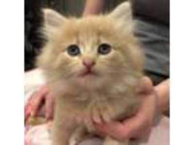 Adopt Farrah Fawcett a Domestic Long Hair