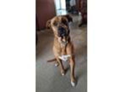 Adopt ILakota a Red/Golden/Orange/Chestnut Boxer / Shepherd (Unknown Type) dog
