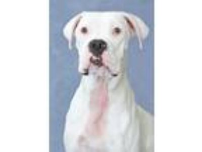 Adopt Professor Whispers a White Boxer / Mixed dog in Encinitas, CA (25214659)