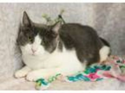 Adopt Woody a Gray or Blue (Mostly) Domestic Shorthair / Mixed cat in Muskegon
