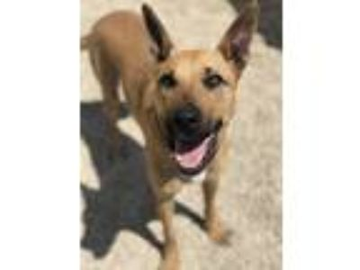 Adopt Coconut a Tan/Yellow/Fawn Belgian Malinois / Pit Bull Terrier / Mixed dog