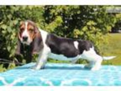 DAVIS Adorable Basset Boy Euro lines READY