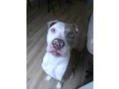 Adopt June a Brown/Chocolate - with White American Pit Bull Terrier dog in