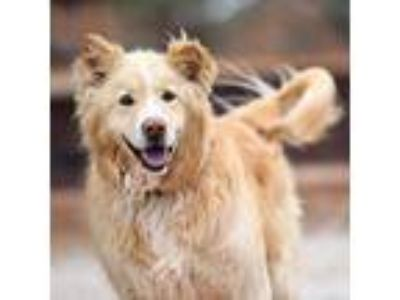 Adopt Bodin a Golden Retriever, Border Collie