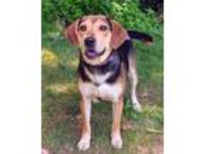 Adopt Lilah a Beagle, Mixed Breed