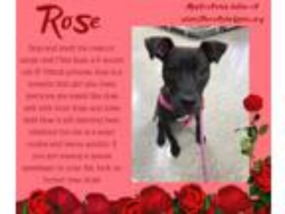 Adopt Rose a Pit Bull Terrier