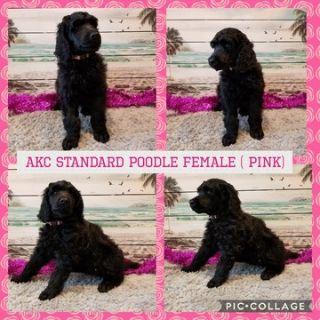 Poodle (Standard) PUPPY FOR SALE ADN-104351 - AKC BLACK STANDARD POODLE PUPS