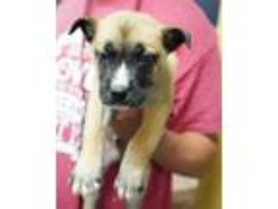 Adopt Ale a Brown/Chocolate Husky / Shepherd (Unknown Type) / Mixed dog in