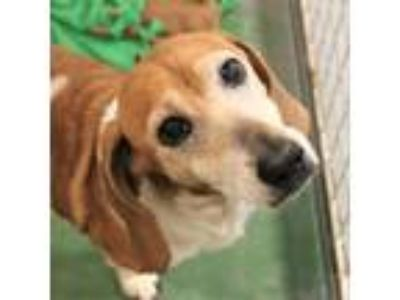 Adopt Sandy a Tan/Yellow/Fawn Beagle dog in Atlanta, GA (25587470)