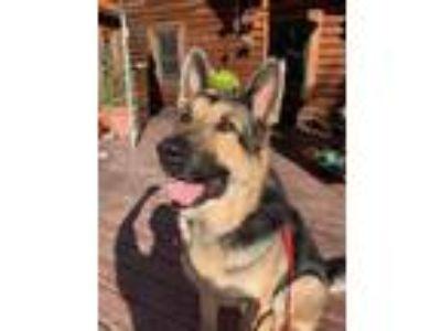 Adopt Toby a German Shepherd Dog
